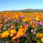 Namaqualand, Afrique du Sud. Author and Copyright Marco Ramerini