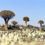 Kokerboom (Aloe dichotoma), Namibie. Author and Copyright Marco Ramerini