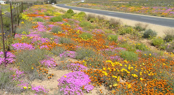 Namaqualand, Afrique du Sud. Author and Copyright Marco Ramerini.
