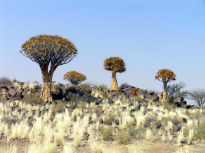 Kokerboom (Aloe dichotoma), Namibie. Author and Copyright Marco Ramerini