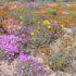 Namaqualand, Afrique du Sud. Auteur et Copyright Marco Ramerini.