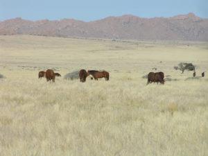Chevaux sauvages, Aus, Namibie. Auteur et Copyright Marco Ramerini