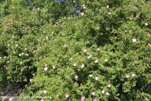 Les cistes en fleurs, Kurow Creek, Waitaki River Valley, Nouvelle-Zélande. Auteur et Copyright Marco Ramerini