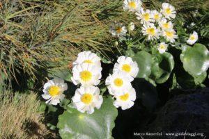 Fleurs (Ranunculus lyallii) le long l'Hooker Valley Track, Nouvelle-Zélande. Auteur et Copyright Marco Ramerini