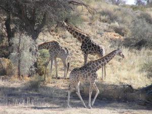 Girafe, Kgalagadi Transfrontier Park, Afrique du Sud. Auteur et Copyright Marco Ramerini