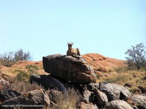 Klipspringer, Parc National d'Augrabies, Afrique du Sud. Auteur et Copyright Marco Ramerini