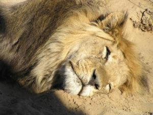 Lion du Kalahari, Kgalagadi Transfrontier Park, Afrique du Sud. Auteur et Copyright Marco Ramerini