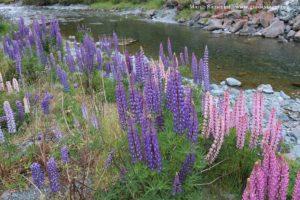 Lupin des jardins, Cascade Creek, Milford Road, Nouvelle-Zélande. Auteur et Copyright Marco Ramerini
