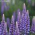 Lupin des jardins, Lake Tekapo, Nouvelle-Zélande. Auteur et Copyright Marco Ramerini