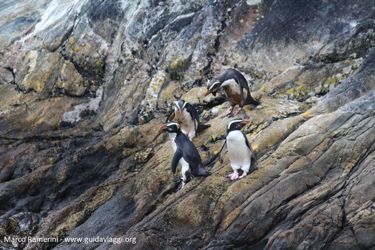 Manchots, Doubtful Sound, Nouvelle-Zélande. Auteur et Copyright Marco Ramerini