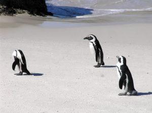 Pingouins à Foxy Beach, plage de Boulders, Cape Town, Afrique du Sud. Auteur et Copyright Marco Ramerini