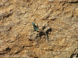Platysaurus broadleyi (Augrabies Flat Lizard), Augrabies Falls National Park, Afrique du Sud. Auteur et Copyright Marco Ramerini