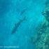 Plongée en apnée avec des requins, île de Kuata, îles Yasawa, Fidji. Auteur et Copyright Marco Ramerini.