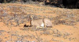Steenbok, Kgalagadi Transfrontier Park, Afrique du Sud. Auteur et Copyright Marco Ramerini