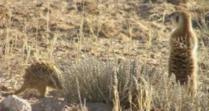 Suricates, Kgalagadi Transfrontier Park, Afrique du Sud. Auteur et Copyright Marco Ramerini