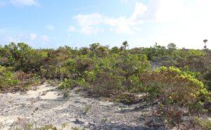 La végétation de l'intérieur de l'île, Long Island, Bahamas. Auteur et copyright Marco Ramerini